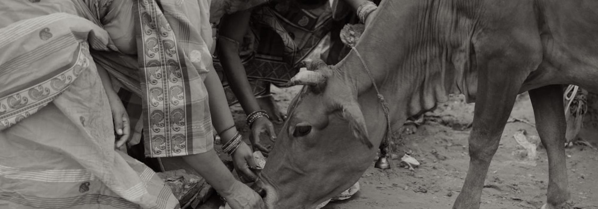 Women Feeding Cow