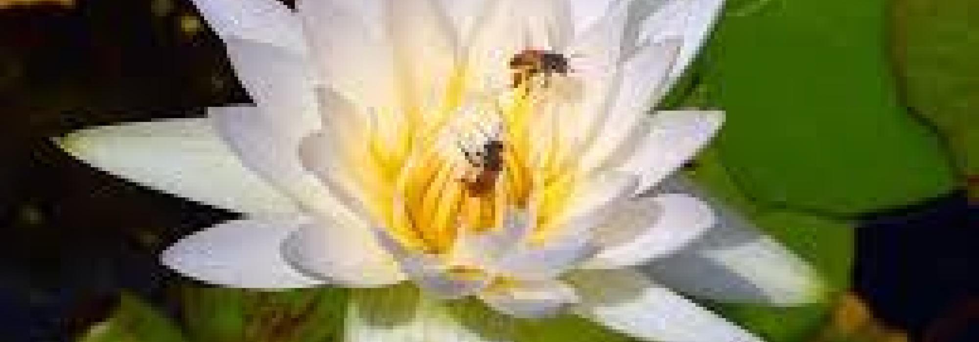 Lotus-bees