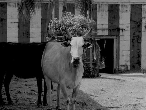 Cow Temple