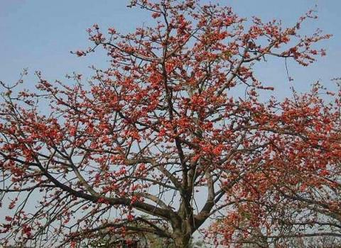 shalmali-tree