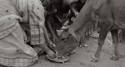 Women Feeding Cow